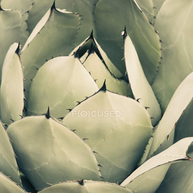 Agave cactus plant — Stock Photo