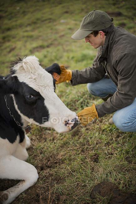 Фермер тенденцію корова — стокове фото
