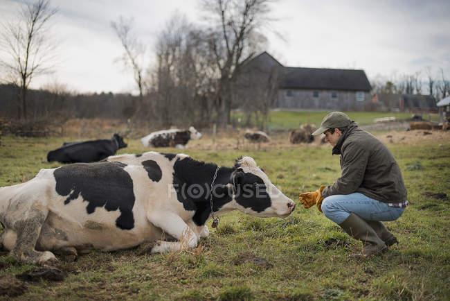 Vaches s'occuper d'agriculteur — Photo de stock