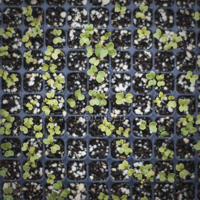Tray of small seedlings — Stock Photo