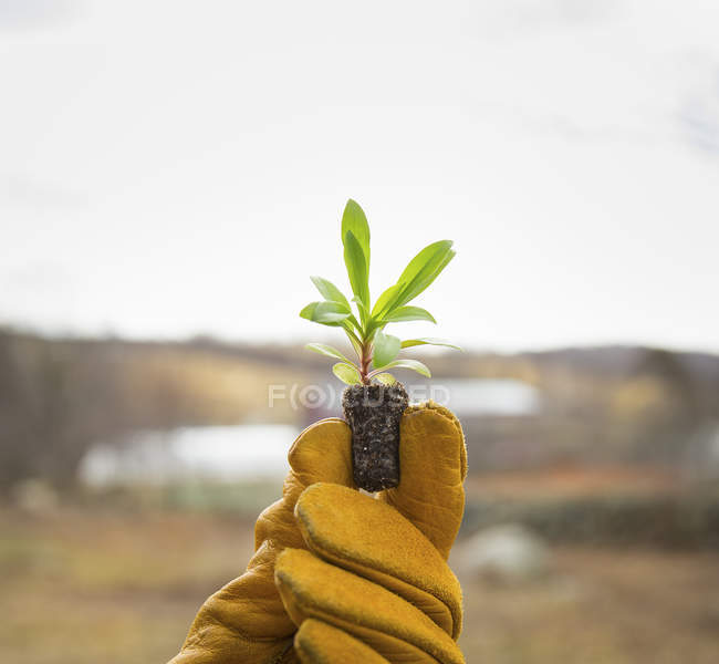 Gloved hand holding new seedling — Stock Photo