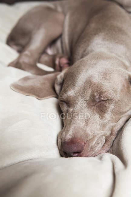 Weimaraner puppy sleeping — Stock Photo