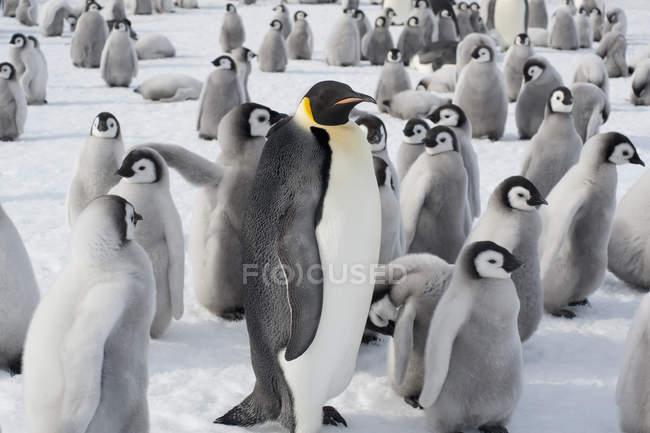 Gruppe von Kaiserpinguinen — Stockfoto