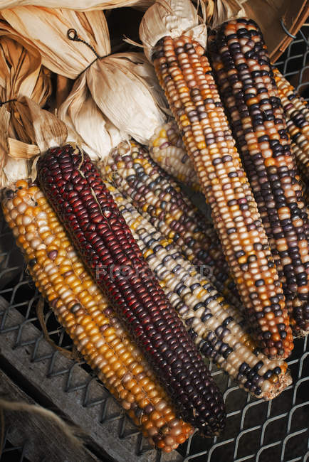 Variety of Indian corn cobs — Stock Photo