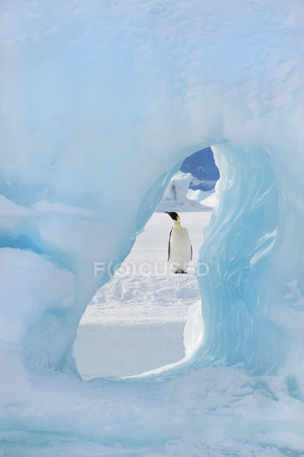 Emperor penguin standing on the ice — Stock Photo