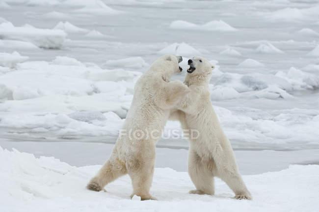 Полярні ведмеді, боротьба на снігу — стокове фото