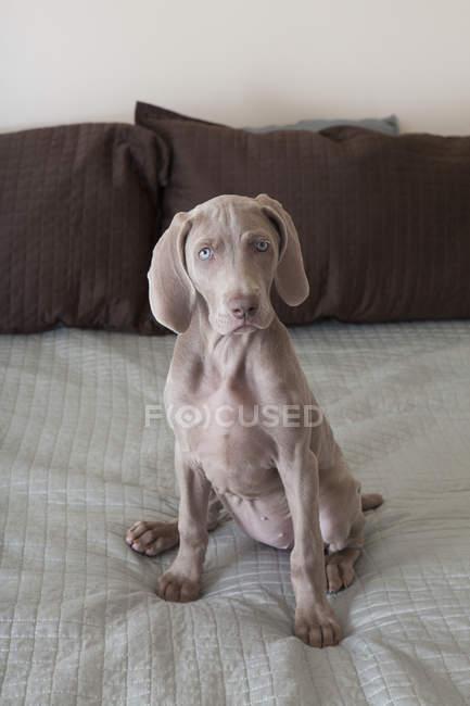 Weimaraner puppy on bed — Stock Photo