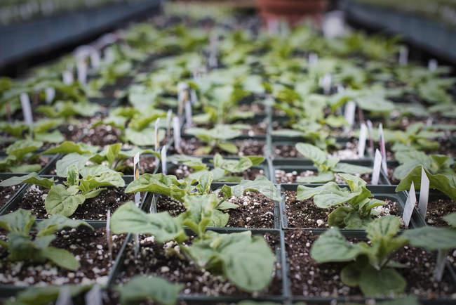 Gewächshaus-Inszenierung mit Schalen von Jungpflanzen — Stockfoto