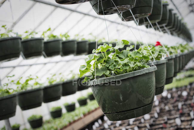 Glasshouse with hanging baskets and plant seedlings. — Stock Photo