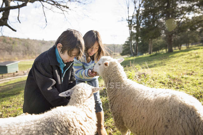Children in a paddock feeding two sheep. — Stock Photo