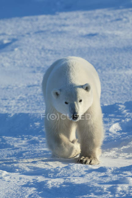 Polar bear in the wild. — Stockfoto