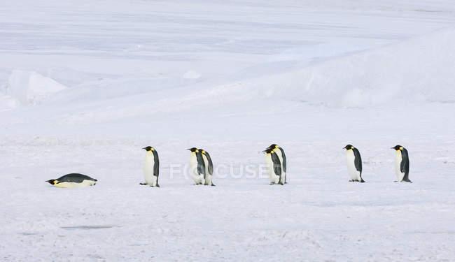 Fila di pinguini imperatore — Foto stock