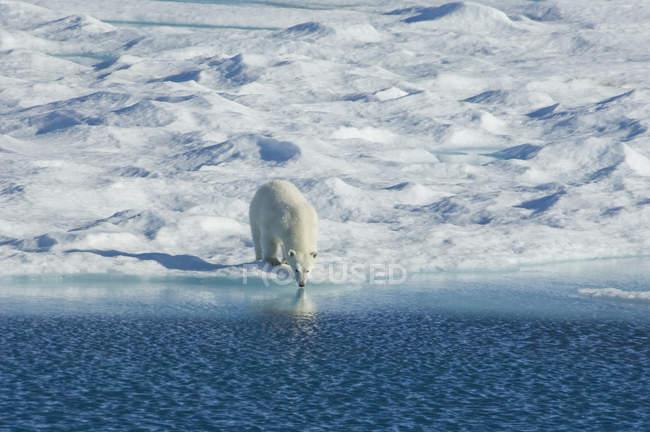 Белый медведь в дикой природе . — стоковое фото