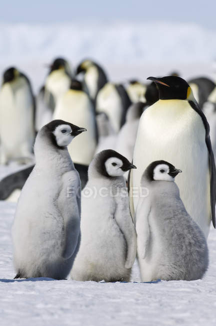 Gruppo di pinguini imperatore — Foto stock