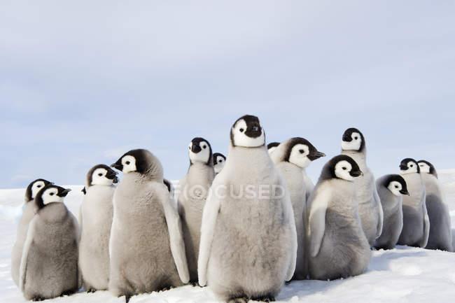 Grupo de filhotes de pinguim-imperador — Fotografia de Stock