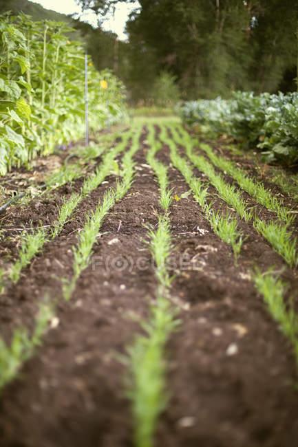 Jardim plantadas com linhas de brotos verdes — Fotografia de Stock
