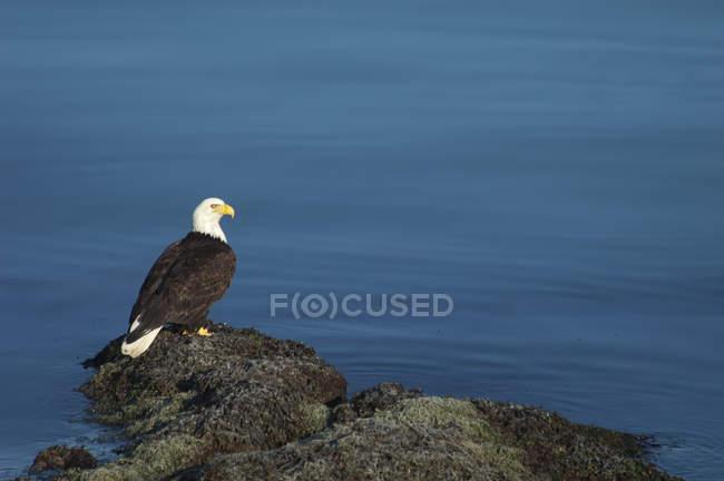 Американський білоголовий орлан — стокове фото