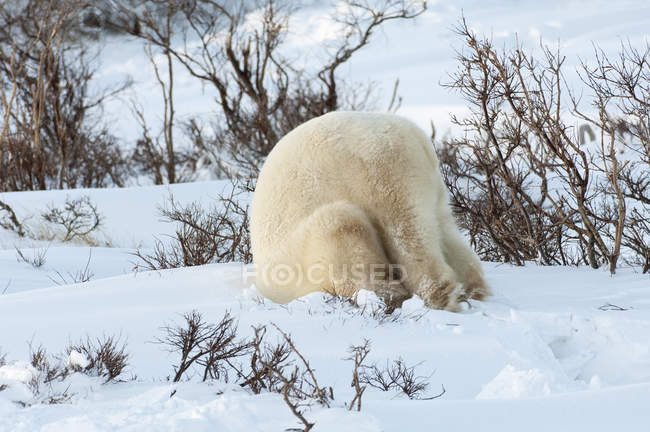 Orso polare allo stato brado . — Foto stock