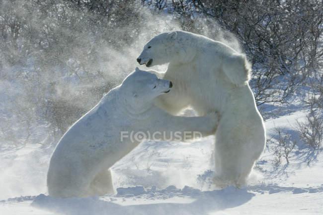 Osos polares peleando en la nieve - foto de stock