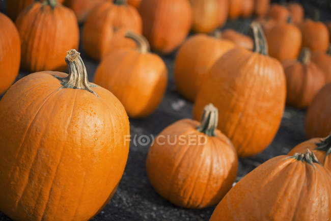 Large collection of pumpkins — Stock Photo