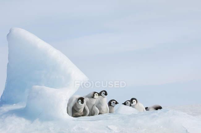 Polluelos de pingüino joven - foto de stock