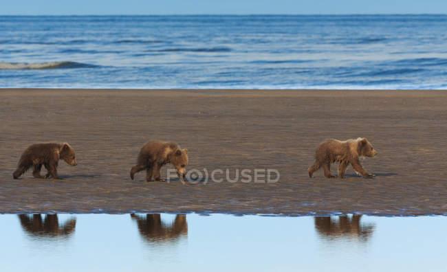 Медвежьи медведи — стоковое фото