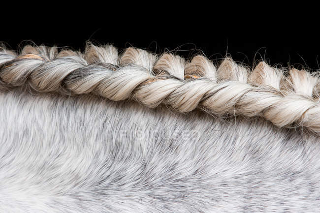 Lusitano horse, close up — Stock Photo