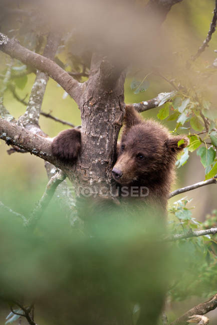 Brown bear cub climbing a tree — Stock Photo