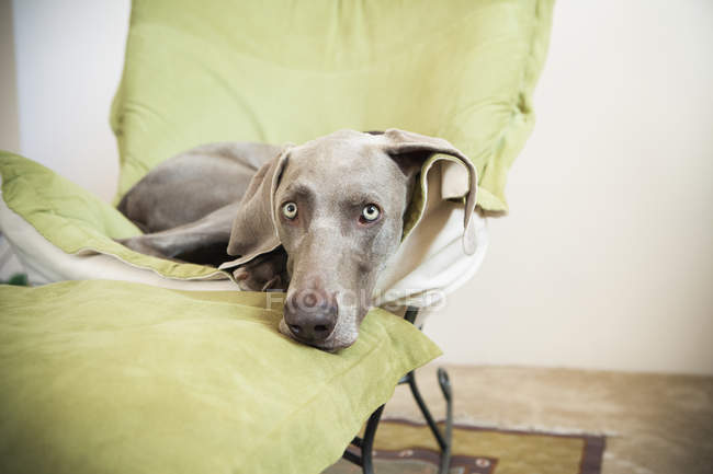 Weimaraner dog lounging on a chair. — Stock Photo