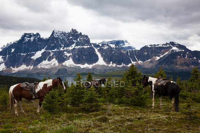 Група коней, Національний парк Джаспер — стокове фото