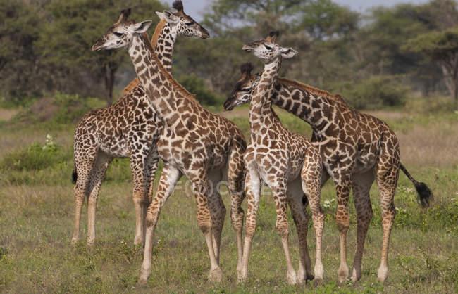 Pequeno grupo de girafas masai — Fotografia de Stock