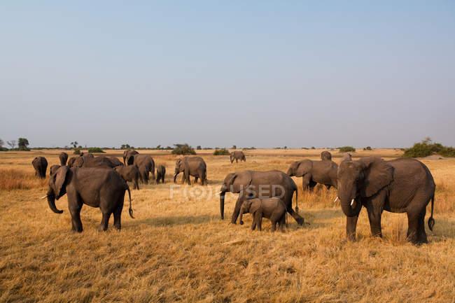 Elefante africano de la manada - foto de stock