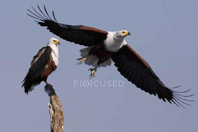Aigles africains — Photo de stock
