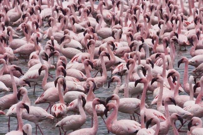 Menor flamingos no lago — Fotografia de Stock