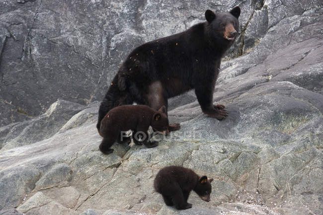 Black bear and cubs — Stock Photo