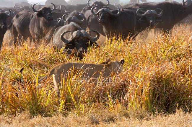 Buffalo e Leone africano — Foto stock
