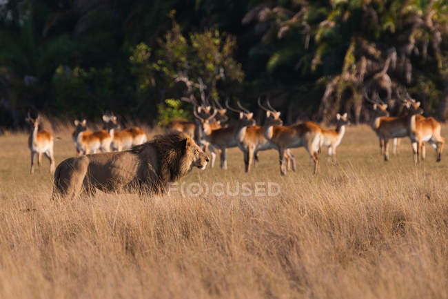 African lion and lechwe — Stock Photo