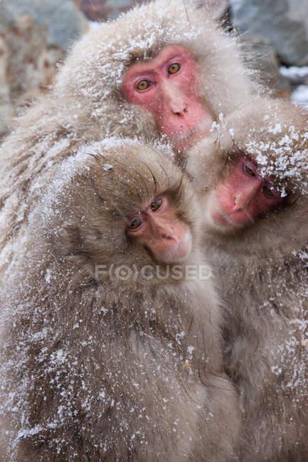 Japanese macaques, Honshu Island — Stock Photo