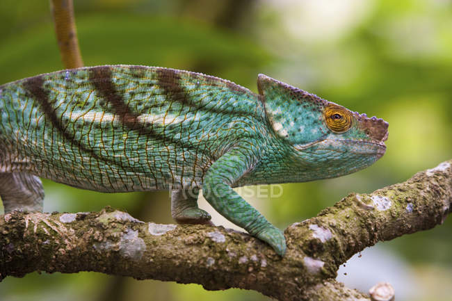 Parson's chameleon on branch — Stock Photo