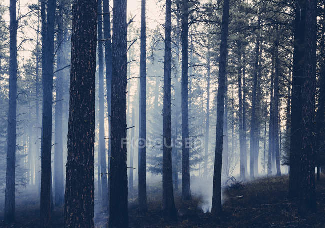 Controlled forest burn — Stock Photo