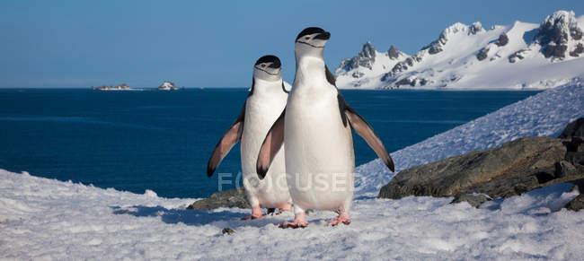 Pinguins barbicha, Antártica — Fotografia de Stock