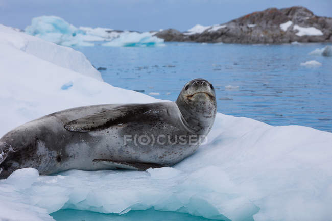 Leopard seal in the wild — Stock Photo