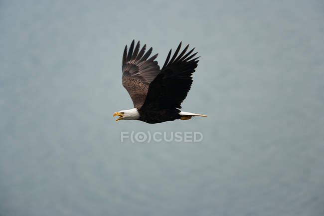 Bald eagle flying in air — Stock Photo
