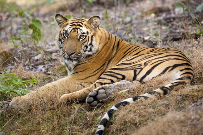 Tigre adulto tumbado en el suelo - foto de stock