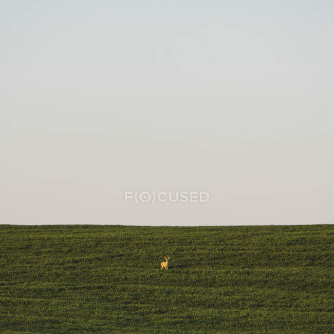White tail deer in field — Stock Photo