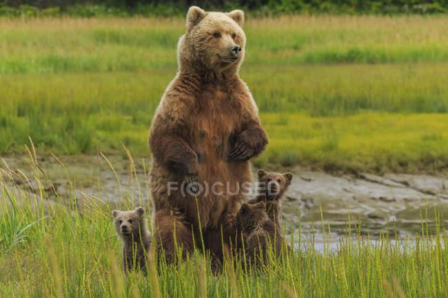 Бурий ведмідь сіяти і ведмежат — стокове фото