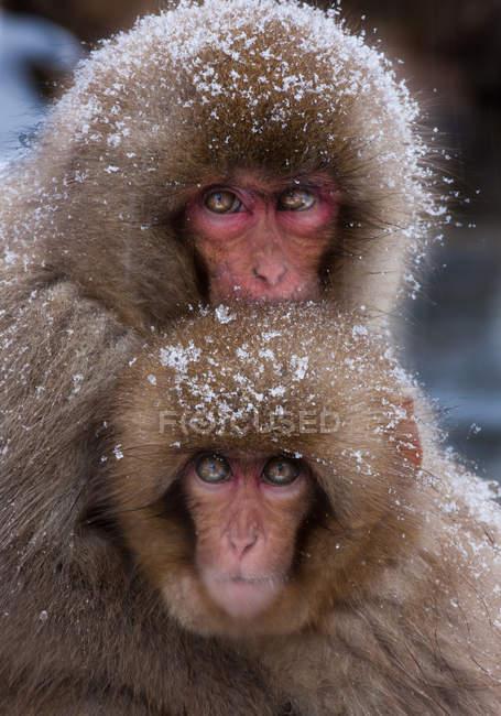 Macacos japoneses, ilha de Honshu — Fotografia de Stock