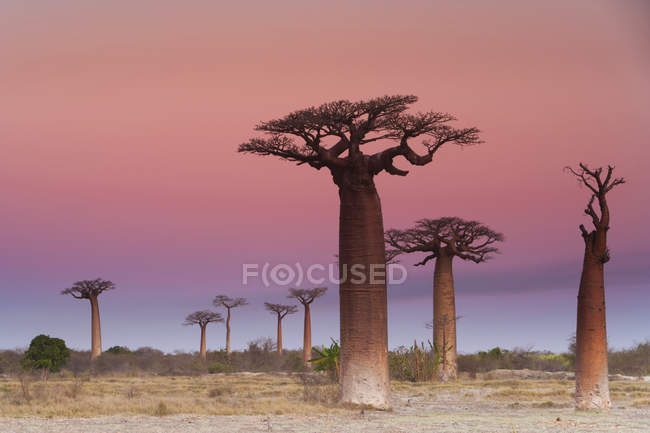 Baobab trees , Madagascar — Stock Photo