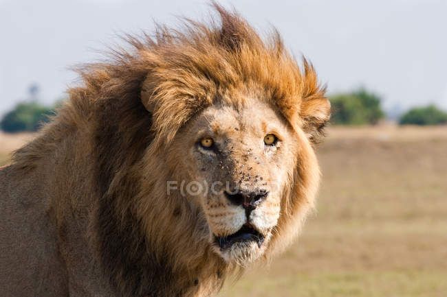 Fechar a imagem do Leão Africano — Fotografia de Stock