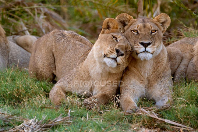 African lions rubbing each other — Stock Photo